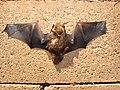 Starr-100907-9071-Eucalyptus sp-habitat with Hawaiian hoary bat Lasiurus cinereus semotus-Olinda-Maui (25025058116).jpg