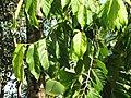 Starr-110330-3811-Cananga odorata-leaves-Garden of Eden Keanae-Maui (24713102579).jpg