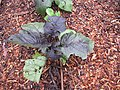 Starr-110502-5417-Solanum melongena-leaves with hail damage-Hawea Pl Olinda-Maui (24467751583).jpg