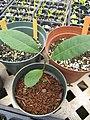 Starr-110621-6298-Carya illinoinensis-seedlings-Hawea Pl Olinda-Maui (24470462993).jpg