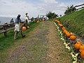 Starr-111004-0588-Cucurbita pepo-road to pumpkin patch with Kim-Kula Country Farms-Maui (25025128631).jpg