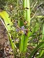 Starr-120425-4843-Dianella sandwicensis-form multipedicellata-Waikapu Valley-Maui (25021509802).jpg