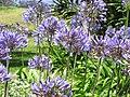 Starr-120510-5692-Agapanthus praecox subsp orientalis-flowers-Ka Hale Olinda-Maui (25049154791).jpg