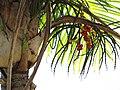 Starr-120522-6378-Gaussia maya-fruit-Iao Tropical Gardens of Maui-Maui (25025333682).jpg