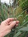 Starr-120608-7259-Panicum virgatum-cv Switch Alamo seedheads-Ulupalakua Ranch-Maui (25145143755).jpg