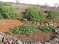 Starr-121220-9340-Ipomoea batatas-cultivation-Lua Makika-Kahoolawe (24572650243).jpg