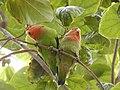 Starr-140711-1040-Cordia subcordata-tree with love birds-Kanani Rd Kihei-Maui (24948861030).jpg