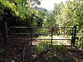 Starr-140909-1647-Hibiscus tiliaceus-habit and gate-Wailua-Maui (25127365222).jpg