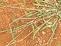 Starr-141217-2962-Dactyloctenium aegyptium-seedheads-Lua Makika-Kahoolawe (25131090192).jpg