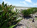 Starr-150328-0927-Crinum asiaticum-flowering habit with Black Footed and Laysan Albatrosses-Northeast Coast Eastern Island-Midway Atoll (24973914540).jpg