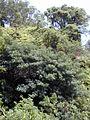 Starr 010908-0025 Ficus cf. platypoda.jpg