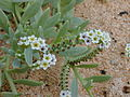 Starr 030330-0006 Heliotropium curassavicum.jpg