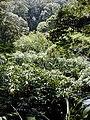 Starr 030405-0036 Hedychium sp..jpg