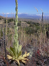 A Mullein plant growing in aa dry, mountainous area.