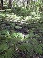 Starr 040812-0075 Araucaria columnaris.jpg