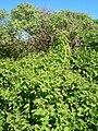 Starr 050222-4181 Passiflora foetida.jpg