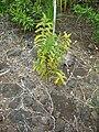 Starr 051105-8425 Santalum freycinetianum var. lanaiense.jpg