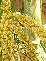 Starr 060922-9187 Chrysalidocarpus lutescens.jpg