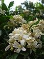 Starr 061105-9629 Murraya paniculata.jpg