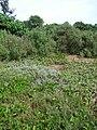 Starr 061129-1708 Solanum nelsonii.jpg