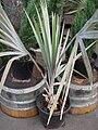Starr 070906-8333 Bismarckia nobilis.jpg