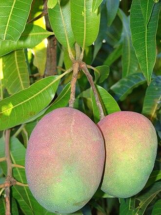 Mangifera - M. indica fruits