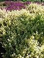 Starr 080219-2890 Helichrysum petiolare.jpg
