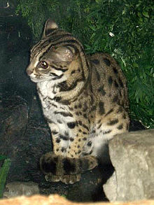 Asian leopard cat information