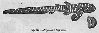 Zebra shark - Early taxonomists thought that juvenile zebra sharks were a different species because of their different appearance from adults.