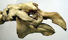 The skull has a hole on the snout and large eye sockets on either side and flattens out on the top; no teeth are visible.