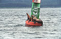 Steller Sea Lion13(js).jpg