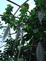 Sterculia balanghas (BG Zurich)-01.JPG