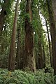 Stout Memorial Grove in Jedediah Smith Redwoods State Park in 2011 (23).JPG