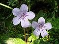 Streptocarpus gardenii (BG Zurich) flower-01.JPG