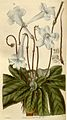 Streptocarpus rexii00.jpg