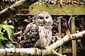 Strix uralensis -Hawk Conservancy Trust, near Andover, Hampshire, England-8a.jpg