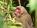 Stump tailed Macaque P1130751 09.jpg