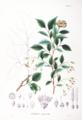 Styrax japonicum SZ23.png