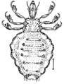 Sucking Louse (PSF).png