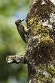 Sulawesi Woodpecker - Sulawesi MG 5546 (15788046674).jpg