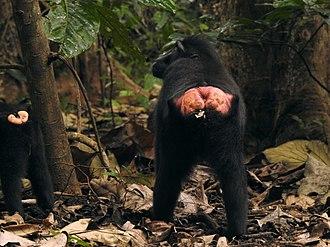 Callosity - Ischial callosity on Sulawesi crested macaque Macaca nigra