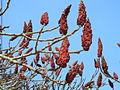 Sumak octowiec, 30 marzec. Tylko w tym żeńskim gatunku, owocniki są tak silne i wytrzymałe..jpg