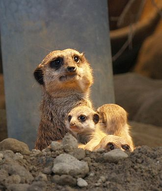 Begging in animals - Meerkat with youngster