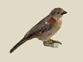 Swahili Sparrow specimen RWD.jpg