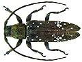 Sybra borneotica Breuning, 1939 female (5567744769).jpg