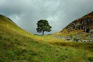 Sycamore Gap, The Tree.jpg