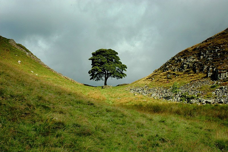 File:Sycamore Gap, The Tree.jpg