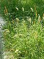 Symbiosis of Setaria viridis P. Beauv(Enokorogusa-jas)& S. glauca L.(kinenokoro-ja).JPG