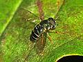 Syrphidae - Paragus pecchiolii.JPG