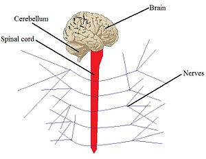 Organ system - An example of a system: the nervous system